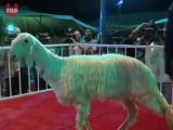 Goat Beauty Pageant