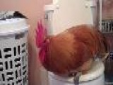 Potty Trained Rooster