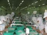 Processing Line Of Cuttlefish Fillet Matsukasa, IQF Roll, Comb Cut