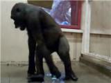 Breakdancing Gorilla At Calgary Zoo