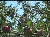 Shimla India Hailstorm Leaves Apple Crop Damaged