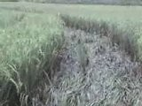 Crop Circles Found In Yogyakarta Rice Field