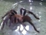 My New Spiders, Tarantulas From Zoo Creatures HD