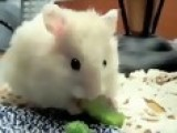 Big Hamster In Little Gumballs