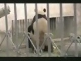 Panda Breaks Sex World Record