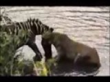 Young Zebra Vs African Lioness