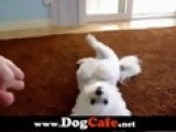 Tobi The Cute Maltese Dog Doing Lots Of Dog Tricks