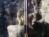 Baboon Mating At The Prospect Park Zoo In Brooklyn New York