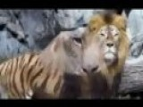 When A Furious LION Attack A Female TIGER