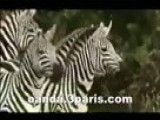 Zebra Wildlife - Amazing Life